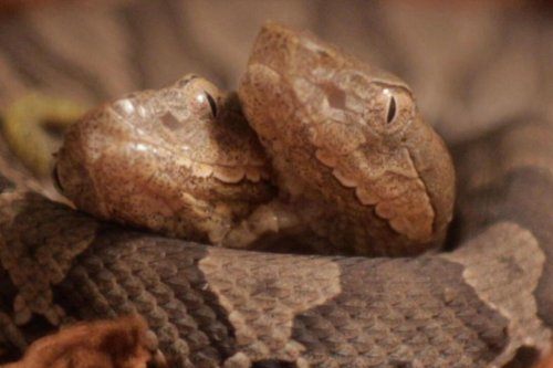 Two-headed copperhead snake donated to Kentucky center