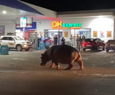 Hippo wanders through gas station parking lot