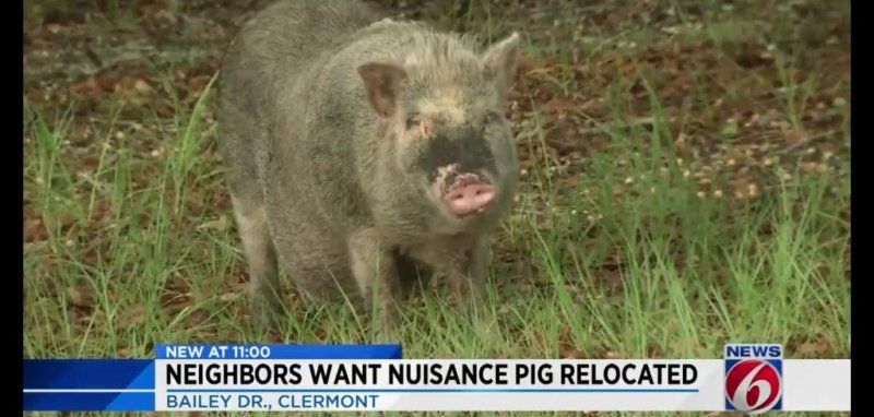 Watch: Potbellied pig blamed for tearing up neighborhood
