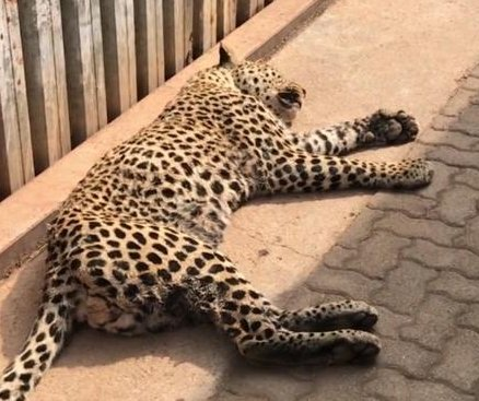 Leopard captured after wandering onto farmer's land