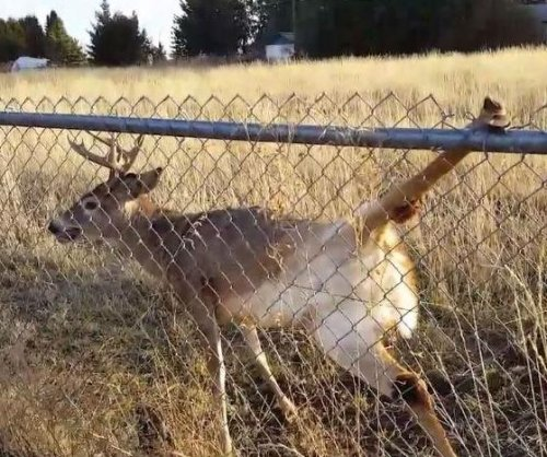 Man frees deer from chain-link fence predicament in Washington state