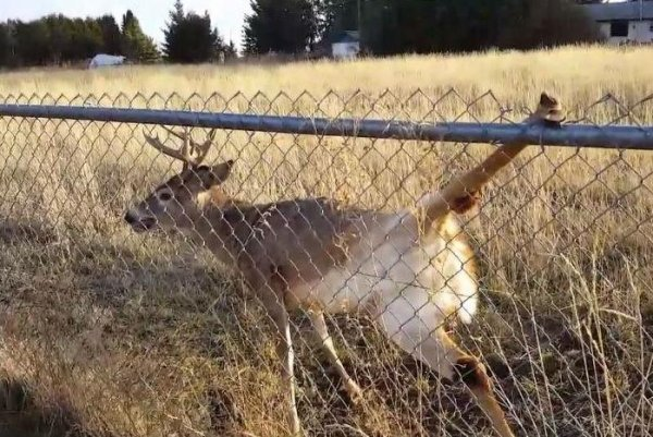 Watch Man Helps Deer With Leg Stuck In Chain Link Fence