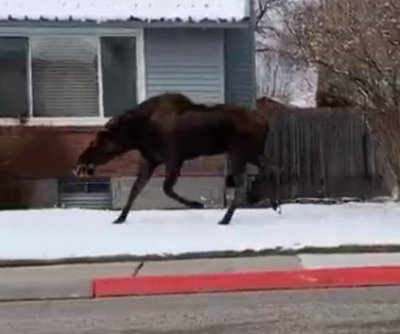 Police chase moose through Idaho city