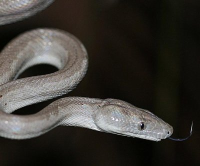 Silver snake: New boa species discovered in Bahamas