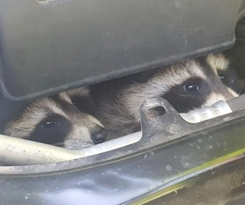 Authorities dismantle car engine to rescue baby raccoons