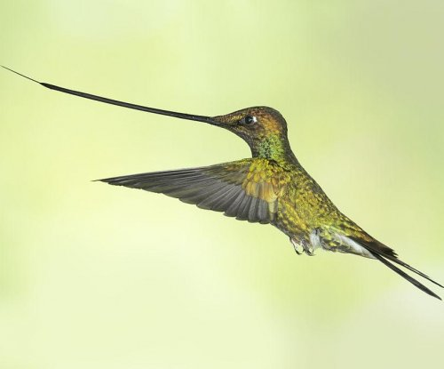 Study: motion distracts hummingbird hovering skills
