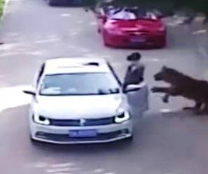 Woman killed after trying to rescue daughter from tiger at China drive-thru wildlife park
