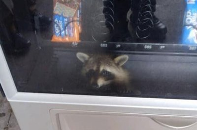 Raccoon rescued from inside vending machine at Florida school