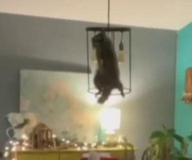 Florida woman finds raccoon in her Christmas tree