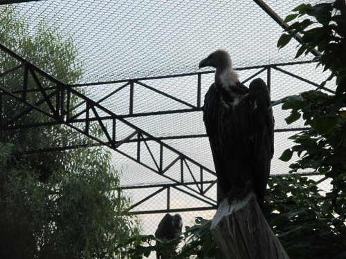 WWF aims to save endangered vultures in Pakistan