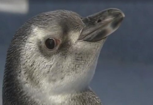 SeaWorld boasts first test tube penguin