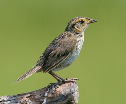 Lines between two sparrow species blurred in New England