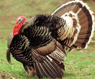 Turkeys jump off truck, avoid becoming main dish on Thanksgiving