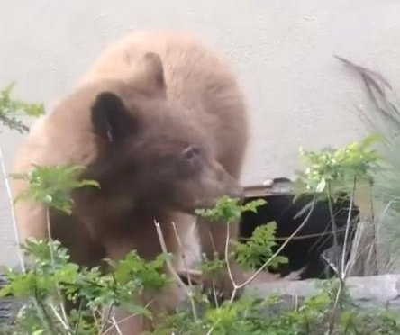 California residents spot bears living under neighbor's home