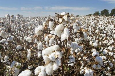 Cotton demand plummets during coronavirus pandemic