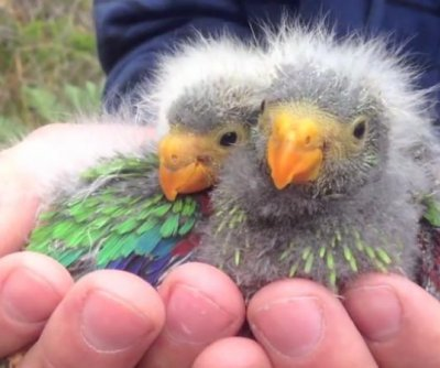 Australia: Swift parrot critically endangered