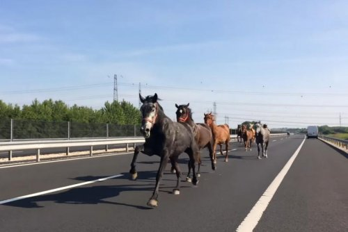 Horses stampede in wrong direction on Hungarian highway