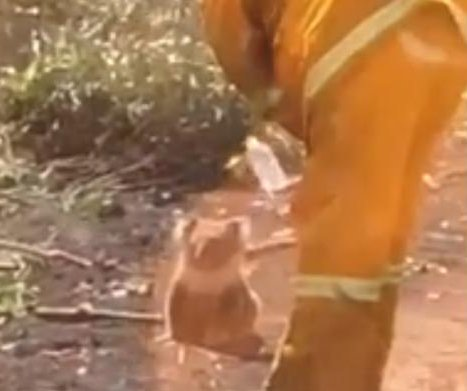 Firefighter takes a break to offer water to thirsty koala