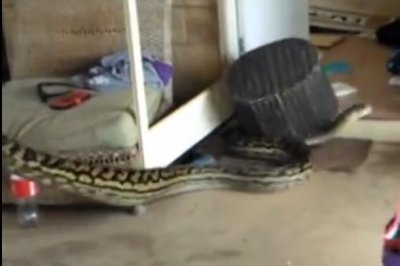 Huge python turns up in family's laundry room