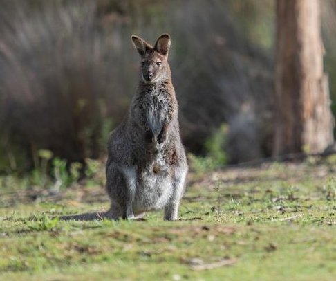 Wallaby escapes Scottish petting zoo, visits nearby pub