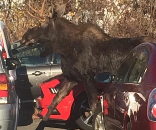 Police rescue moose trapped in Connecticut airport's rental car lot