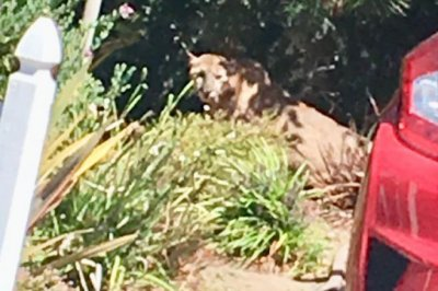 Mountain lion captured after wandering into back yard