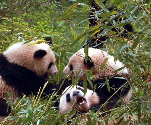 Study: Pandas can't properly digest bamboo