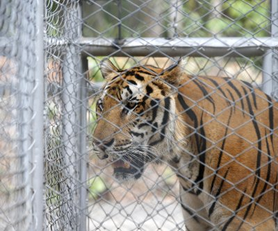 86 tigers die three years after being confiscated from Thai Tiger Temple