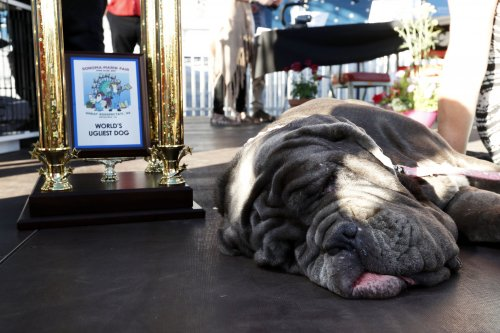Floppy-faced Neapolitan Mastiff named 'World's Ugliest Dog'