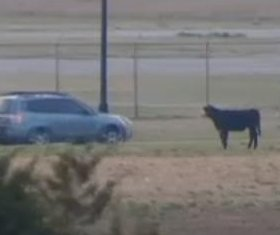 Cattle wander loose on interstate after truck overturns