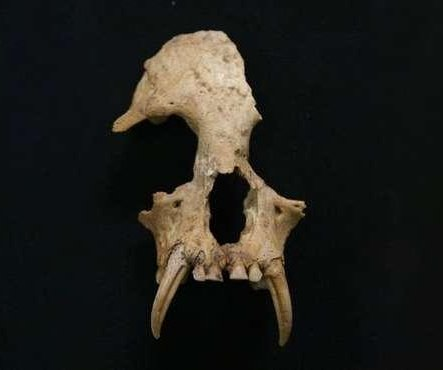New species of extinct gibbon found in tomb of Chinese emperor's grandmother