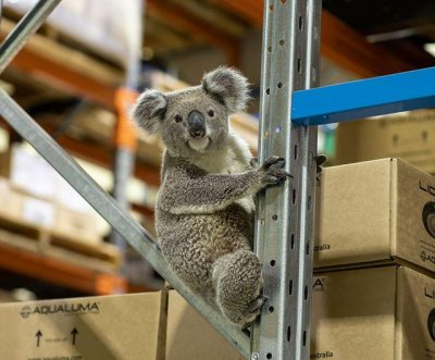 Koala visits lighting company warehouse