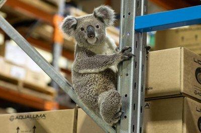 Koala visits lighting company warehouse