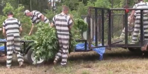 44,000 marijuana plants discovered on massive Texas grow operation