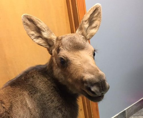 Pair of orphaned moose calves rescued in Canada