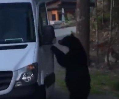 Bear opens van door, climbs inside while man films