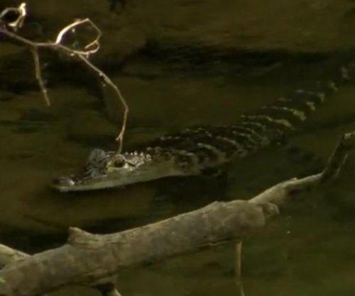 Loose alligator found swimming in Pennsylvania creek