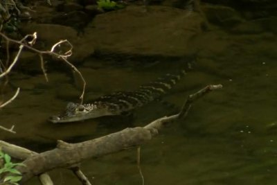 Loose alligator found swimming in Pennsylvania creek