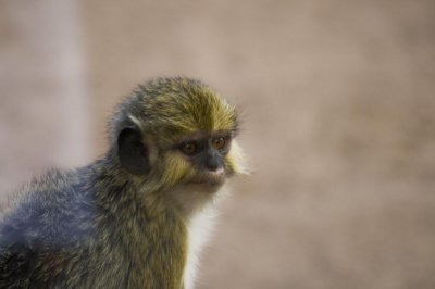 Remains of smallest Old World monkey species found in Kenya