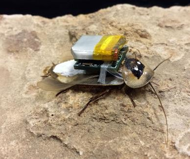 Remote-controlled search-and-rescue roaches are coming