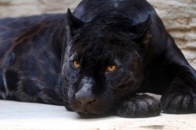 Police searching for reported loose panther in Scotland