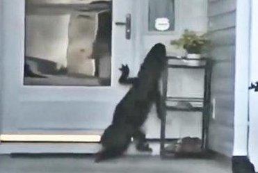 Watch:-Gator-climbs-on-front-door,-rings-doorbell