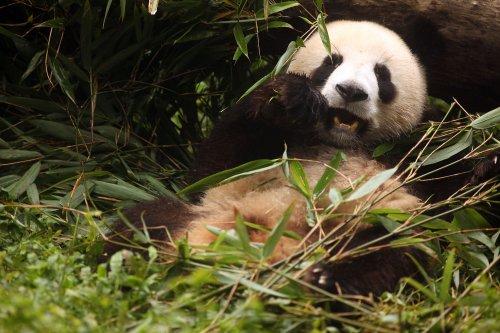 Giant pandas en route to Scotland