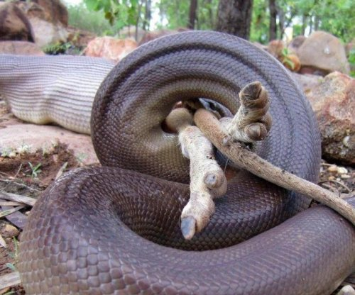 Park ranger gets photos of python devouring wallaby whole