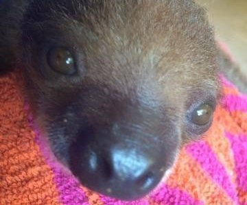 Baby sloth takes private jet from Florida to Pittsburgh