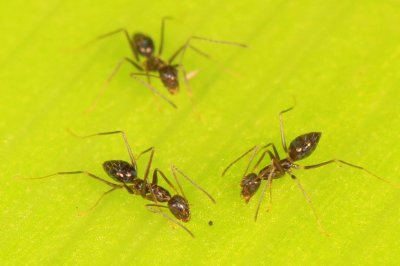 Brain power in numbers: Ants use collective cognition to navigate obstacles
