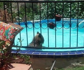 Bear beats the heat with a dip in California family's pool