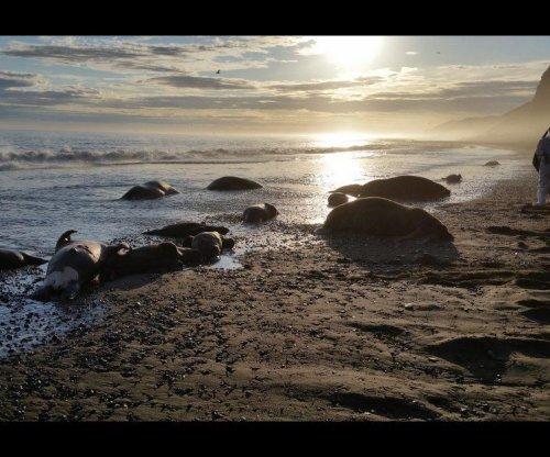 Feds open investigation into Alaskan walrus deaths