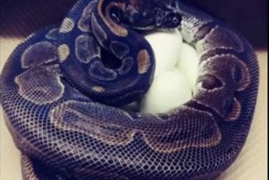 62-year-old python lays eggs 15 years after last encounter with a male