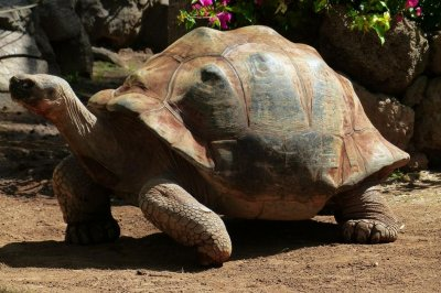 Escaped tortoise hitches a ride, goes wandering through soybean fields
